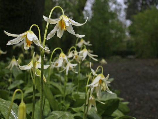 Native flower Erythronium fill the forest at Deepwood