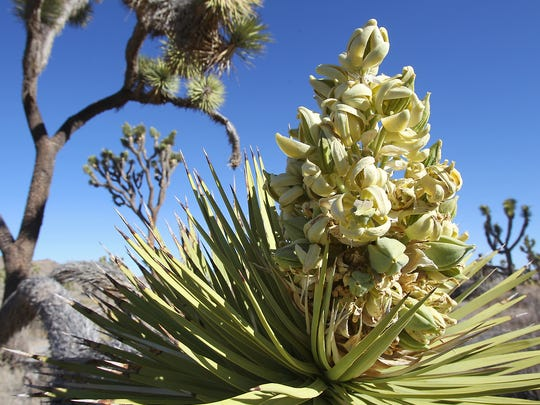 Joshua trees had a prodigious bloom in spring 2013 in Joshua Tree National Park and some other areas of the Southwest.