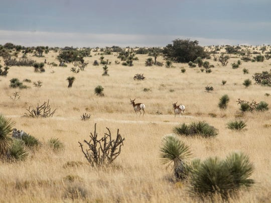 Two proghorns, native to the Otero Mesa in Otero County, are seen running through the grasslands of Otero Mesa Saturday afternoon.