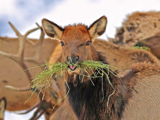 A young elk feeds at the Wenaha Wildlife Area near