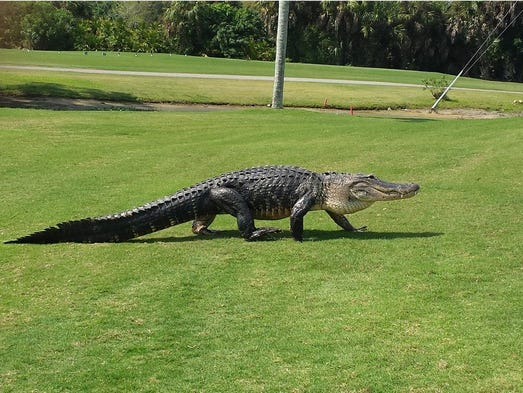 This 12-foot alligator joins the game at the 7th hole,