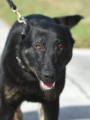 Fort Pierce Police K-9 Loki, assigned to Officer Robie
