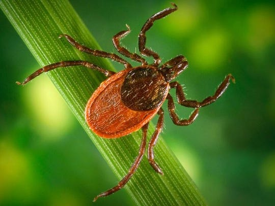Interestingly, deer ticks are relatively new to the