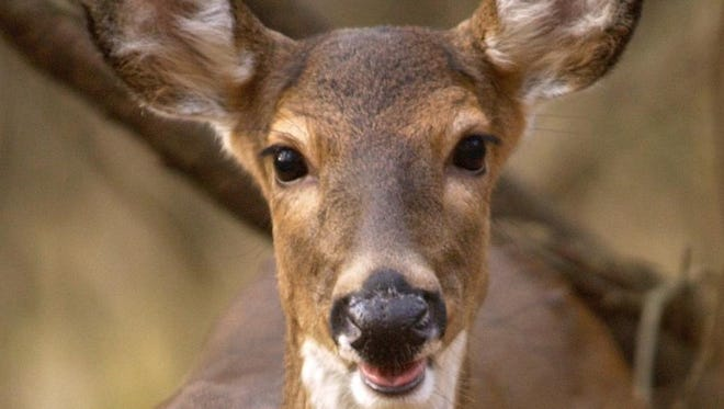 NEWS-LEADER File photo A large number of urban deer live near the Springfield Conservation Nature Center, like this doe photographed up close on Nature Center property.   News-Leader File photo -  -A deer at the Springfield Nature Center. Photo/Christina Dicken/News-Leader