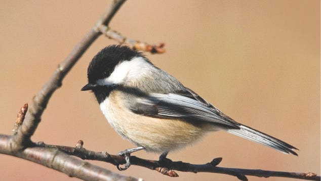 The boreal chickadee is one of the two chickadee species you can expect to see in Wisconsin.