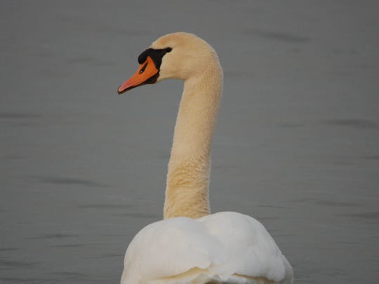 An invasive mute swan on West Harbor near the Ohio 53 causeway.