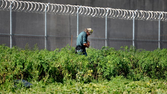 An inmate harvests tomatoes in the Green Bay Correctional Institution vegetable garden.