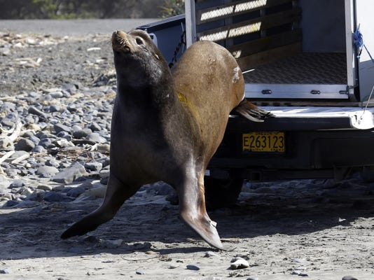 Sea Lions Versus Salmon (2)