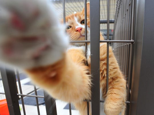 """A curious cat enjoys the outdoor cat kennel known as the """"catio"""" at the Maclean Animal Adoption Center."""