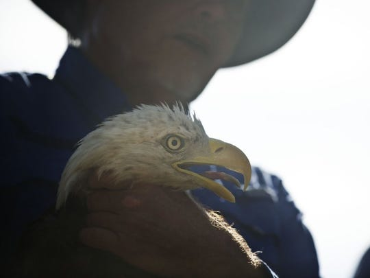 """Al Cecere holds adult bald eagle """"Summitt"""" before releasing him at Ijams Nature Center on Thursday Aug. 11, 2016. Summitt is named in honor of the late Lady Vols basketball coach Pat Summitt."""