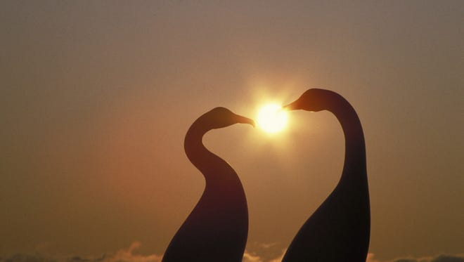 Your outdoors life can be as romantic as these two geese courting at dusk. Getty Images Geese courting at dusk