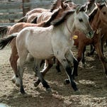 A wild Kiger mustang filly runs with other mustangs in the Bureau of Land Management wild horse corral in Burns in 1999, after it fetched top dollar at a horse auction.