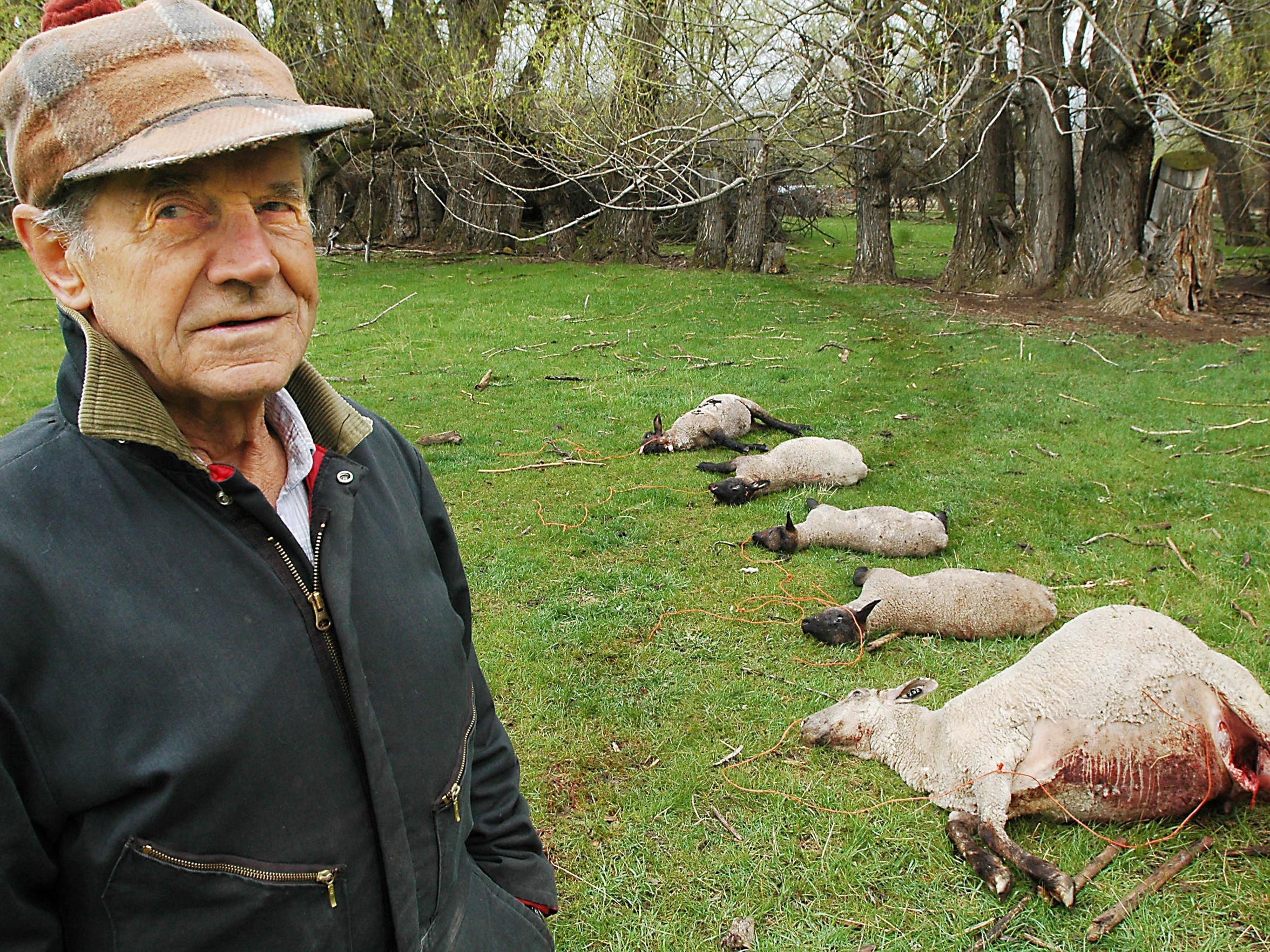 -  -** FILE ** Sheep rancher Bob Weber is pictured
