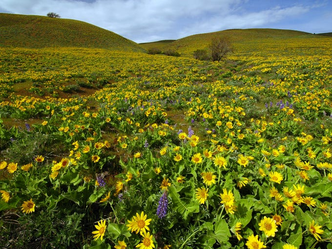 The fields of balsamroot at Columbia Hills State Park