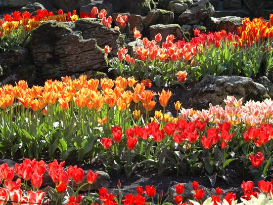 The time to plant tulips is now, anytime between Halloween