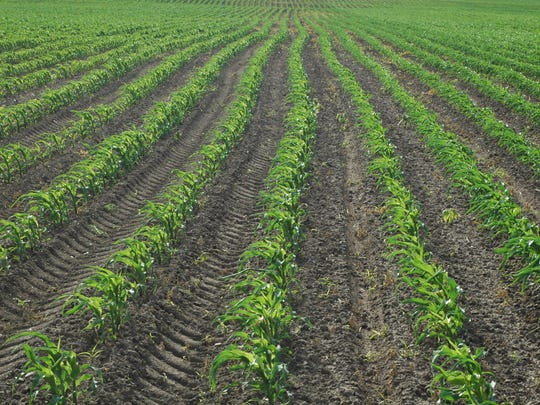 A row of crops planted with seeds from DuPont.