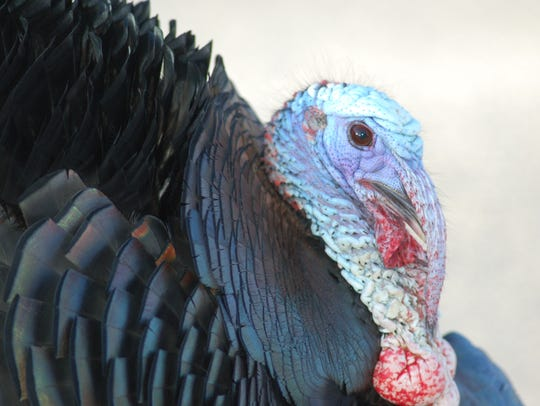 Gobblers aren't easy to fool for the hunters in pursuit