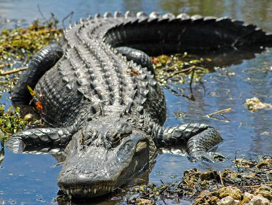 An alligator basks in the shallows, Everglades National Park