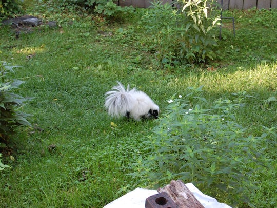A nearly white skunk visited Ray Ziarno's yard at his Northside home.