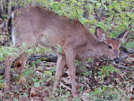 Antlerless deer harvest reports rank Pennsylvania No. 5 in the U.S., according to a recent study.