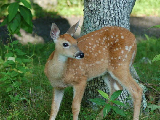 A whitetail fawn is captured on camera in Big Meadows