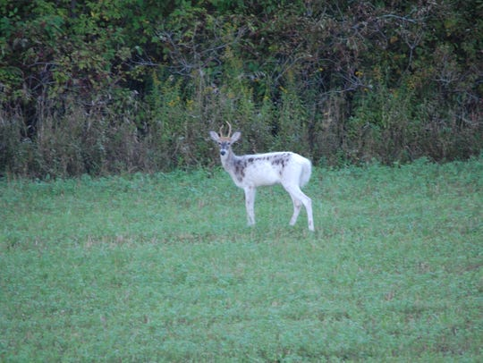 Three young white-tail bucks, including a part-albino