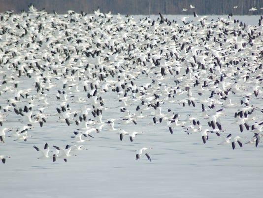 636187166231848041-LDN-DW-010117-snow-geese.jpg