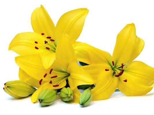 636269134455132148-TDS-NBR-0407-Fresh-Pick-Easter-Lilies.jpg