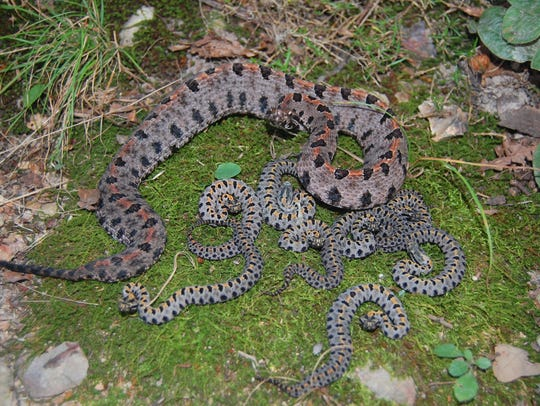 A venomous pygmy rattlesnake, with several of its young.