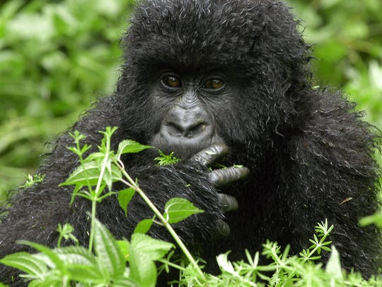 This is Mambo, a 3 year-old gorilla in the Jomba area of the National Park of Virunga, in the Democratic Republic of Congo.