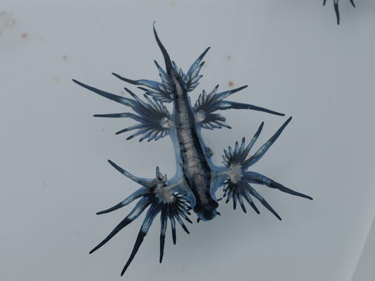 636549806817724461-Blue-Sea-Slug-Glaucus-atlanticus-washed-up-onto-MacMasters-Beach-2c-New-South-Wales---Australia.jpg