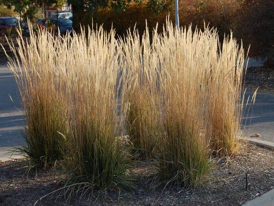 636633596616207229-Calamagrostis-acutiflora-Karl-Foerster-2010-11-3-1.jpg
