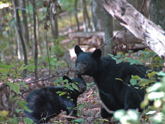 Black bear with cub, October 2008.