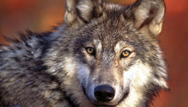 This undated photo provided by the U.S. Fish and Wildlife Service shows a gray wolf.
