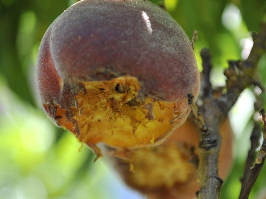 "Learn about fruit trees and about insects during the University of Nevada Cooperative Extension ""Grow Your Own, Nevada!"" class series in April."