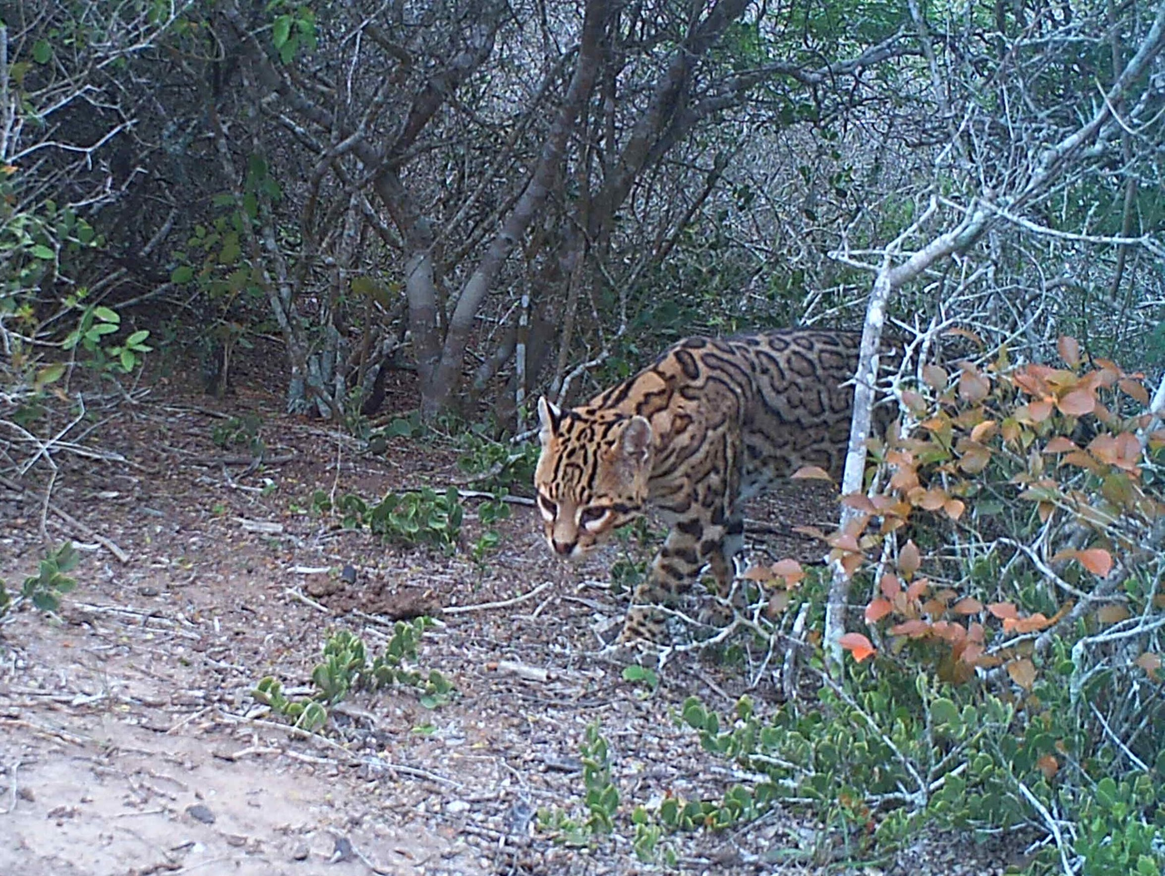 A male ocelot male at Laguna Atascosa National Wildlife