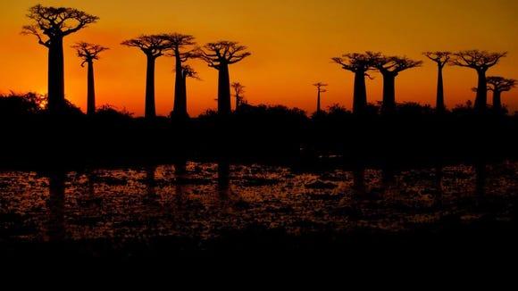 Baobab Alley in Madagascar (Photo courtesy of Anna Wagman '16)