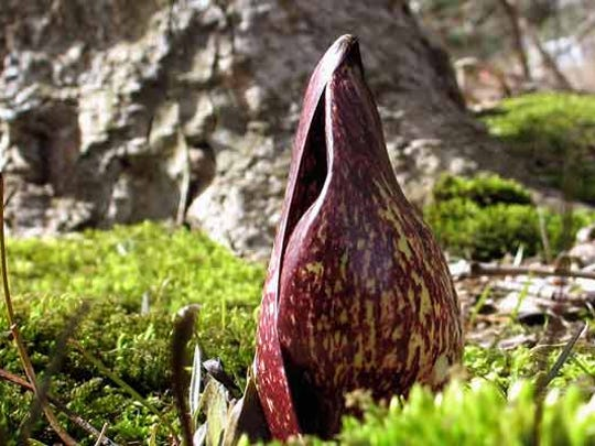 A skunk cabbage flower is just one of many flowers blooming currently.