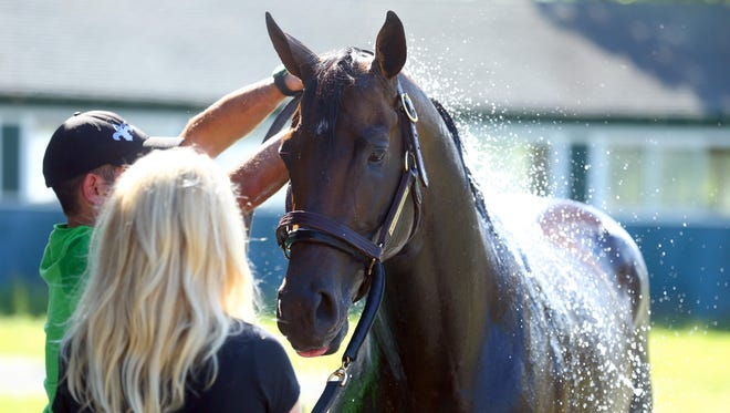 Jun 7, 2016; Elmont, NY, USA; Exaggerator is given a bath by trainers after training in preparation for the 148th running of the Belmont Stakes at Belmont Park. Mandatory Credit: Brad Penner-USA TODAY Sports