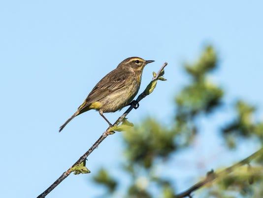 Palm-Warbler
