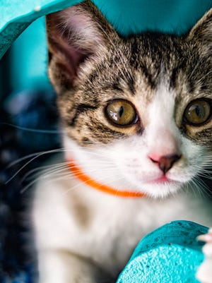 Photographer and volunteer for Cat's Cradle, Cara Walton, takes photos of kittens and cats as part of their adoption rehoming program.