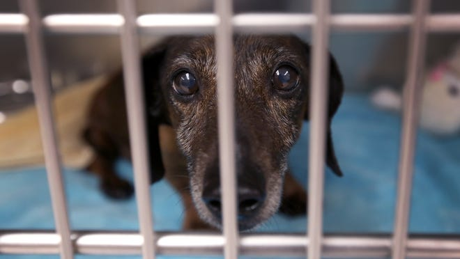 T-Bone, a 5-year-old dachshund, peers out of his cage at the Clermont County Animal Shelter in 2013/