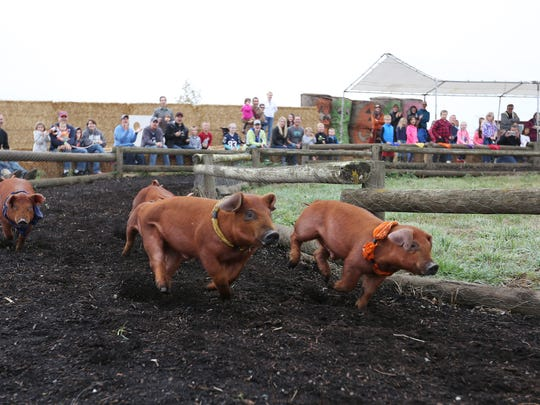 "Festival-goers cheer during the ""Pig-Tucky Derby"" races on Sunday, Oct. 11, 2015, at French Prairie Gardens Pumpkin Patch in St. Paul."