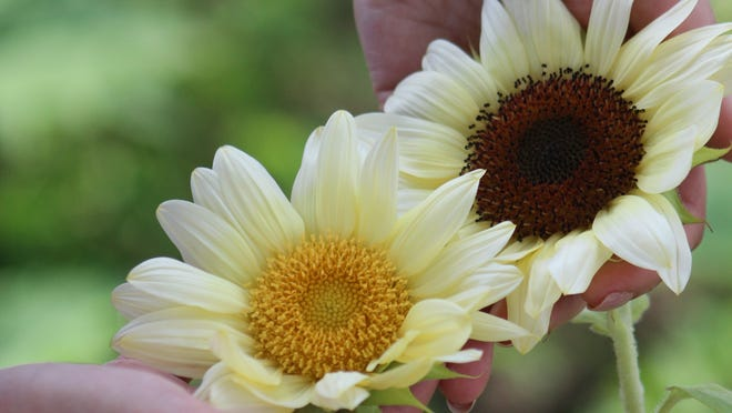 """White Lite"" sunflowers."
