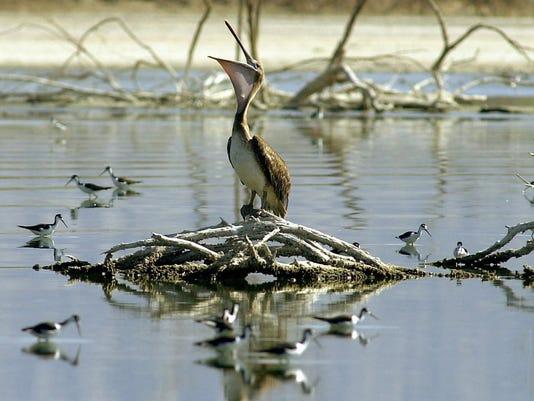 Pelican at the Salton Sea