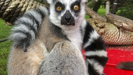 Maki, a ring-tailed lemur, went missing Wednesday from the San Francisco Zoo after someone broke into an enclosure overnight and stole the endangered animal, police said, but on Friday a 5-year-old boy helped find and recapture the lemur, while a man was arrested in connection to the theft.
