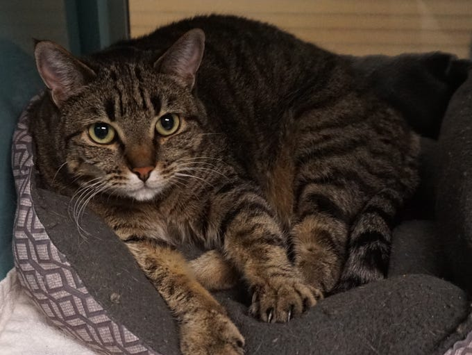 Ursula is a brown tabby who is approximately 2 years