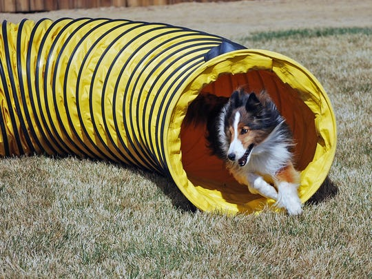 Enzo, a 7-year-old shetland sheepdog owned by Teri Geer of Reno, will be competing in the AKC Agility National Championships this weekend at the Reno-Sparks Livestock Events Center. Guy Clifton/RGJ