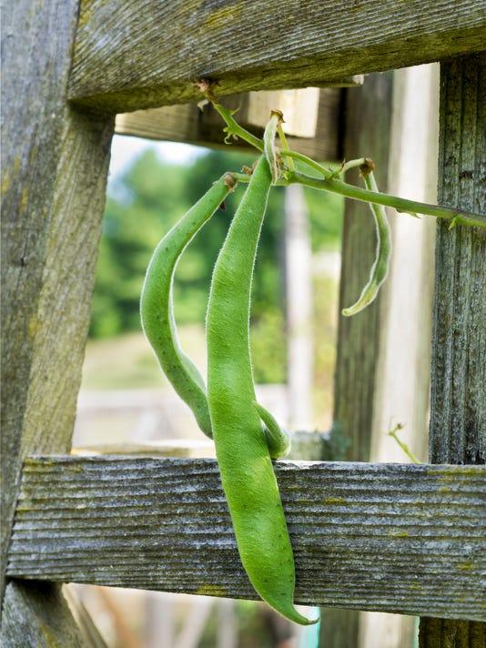 Green Homegrown Runner Beans