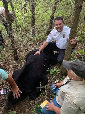 Bruno the bear, who has trekked hundreds of miles -- from Wisconsin, through Illinois and into Missouri -- was tranquilized Sunday in Missouri.